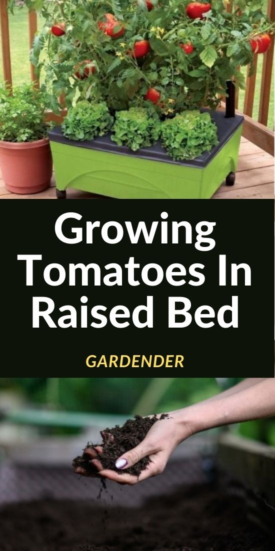 growing tomatoes raised bed