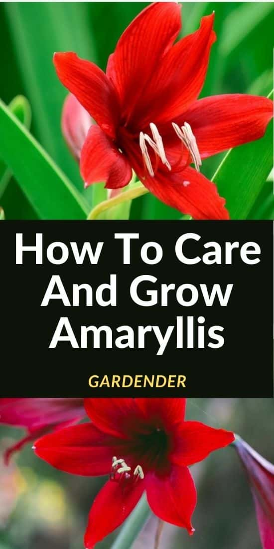 how-to-care-and-grow-amaryllis
