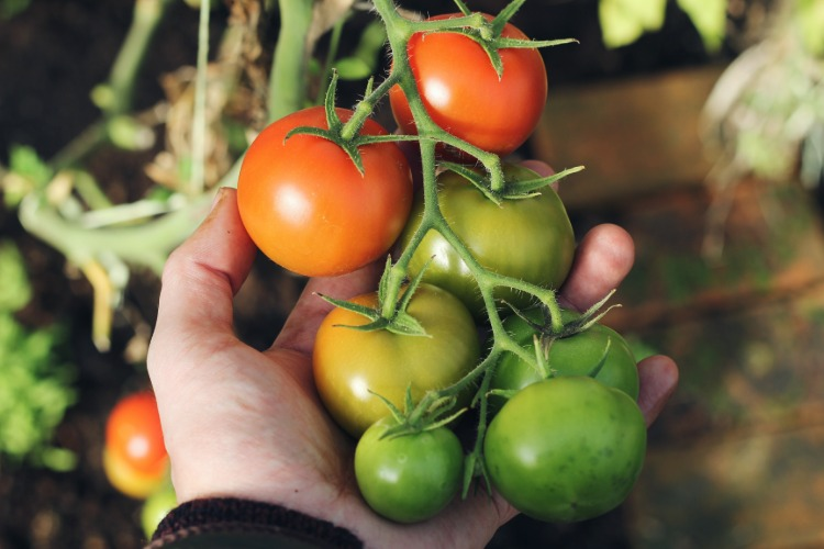 man-tests-harvesting-tomatoes-in-the-top-bed-growing-protection-from-pests-and-tips-for-watering