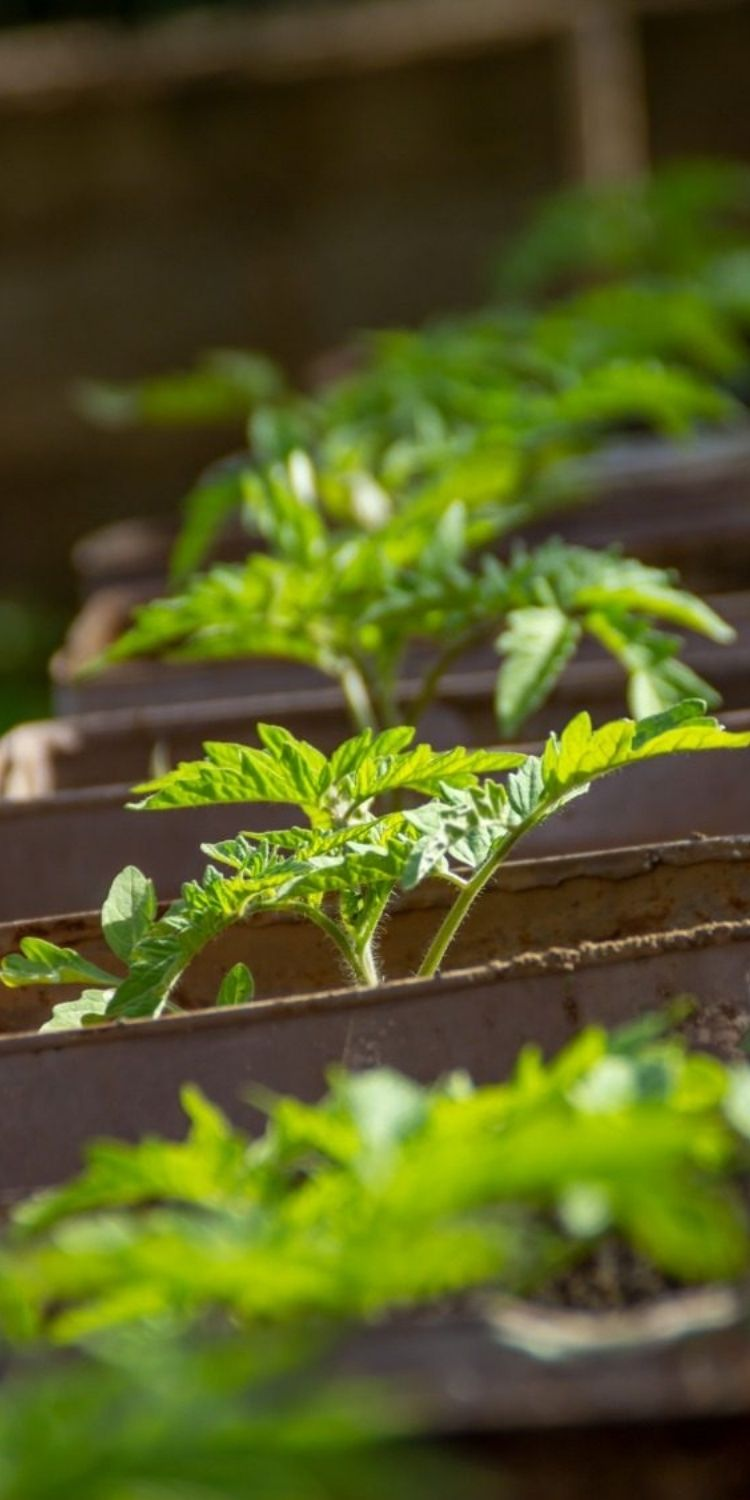 seedlings-from-tomatoes-growing-in-small-garden-beds-under-the-sun
