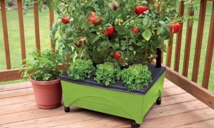 tomatoes reised bed