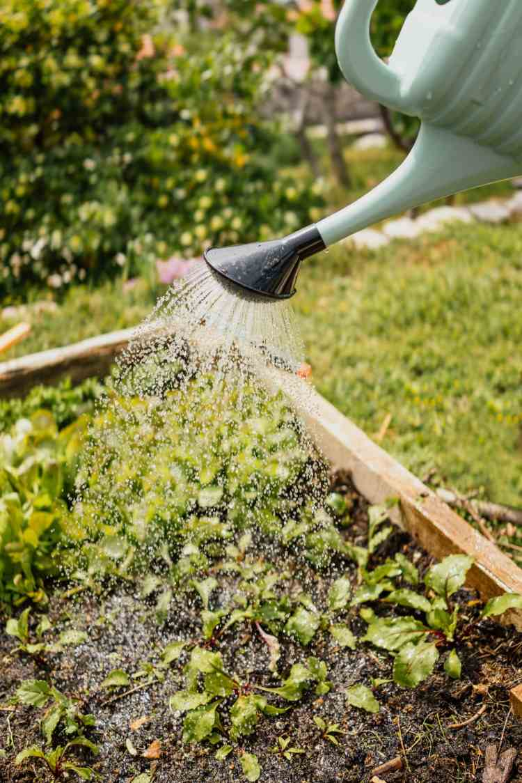 watering-growing-plants-in-the-high-bed-with-water-can-in-the-garden