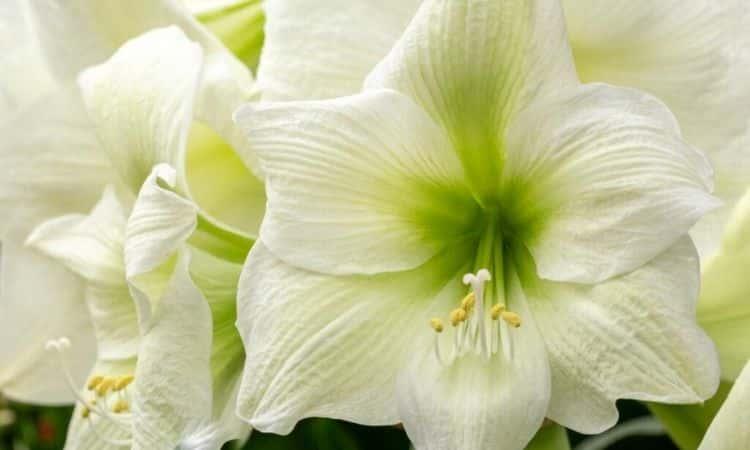 white-amaryllis-flower-bloom