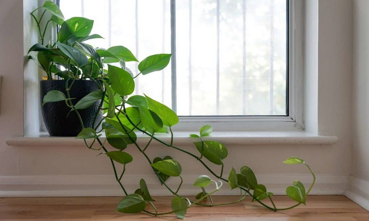 Climbing Philodendron