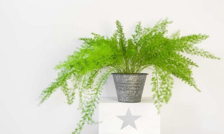 Ornamental Asparagus