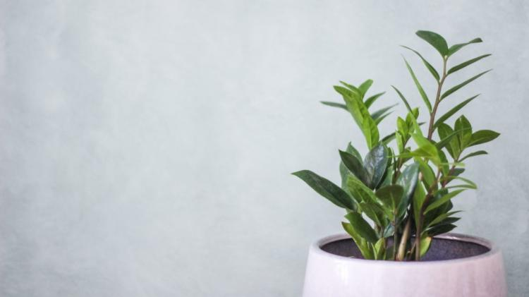 A healthy ZZ plant can bring you joy for a long time