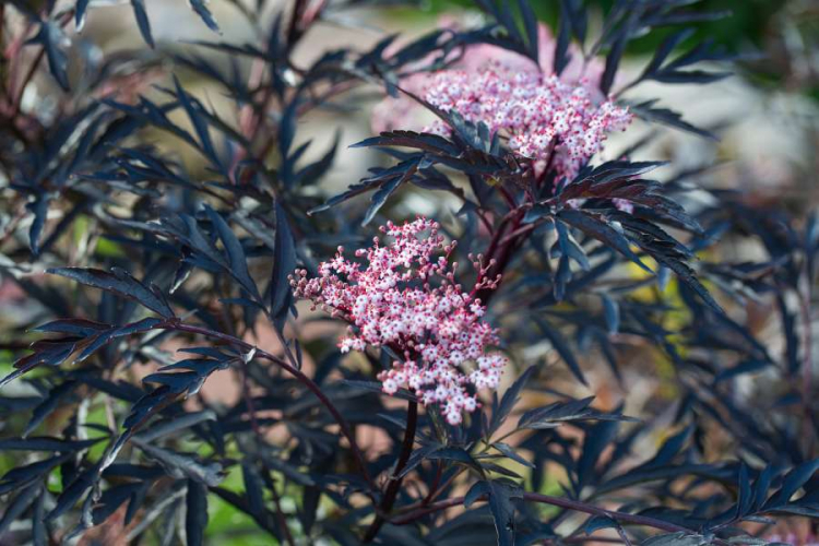A special eye-catcher is the black elderberry 'Black Lace' with its dark red leaves and pink-white flowers