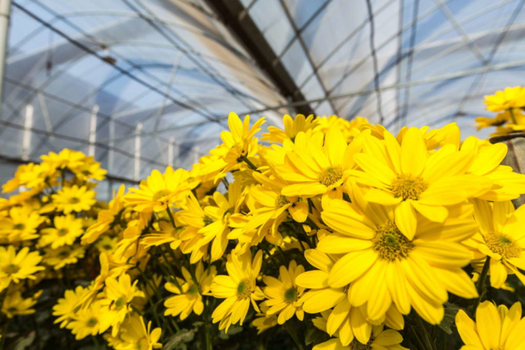 An unheated greenhouse or winter garden is best for wintering
