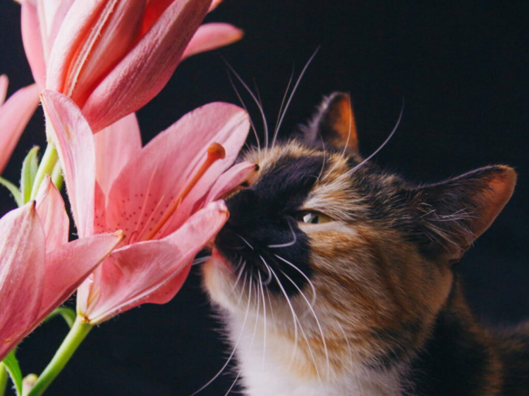Are lilies poisonous to cats?