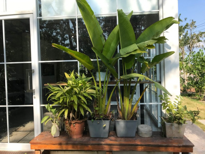 Bananas can grow to a considerable size even in pots