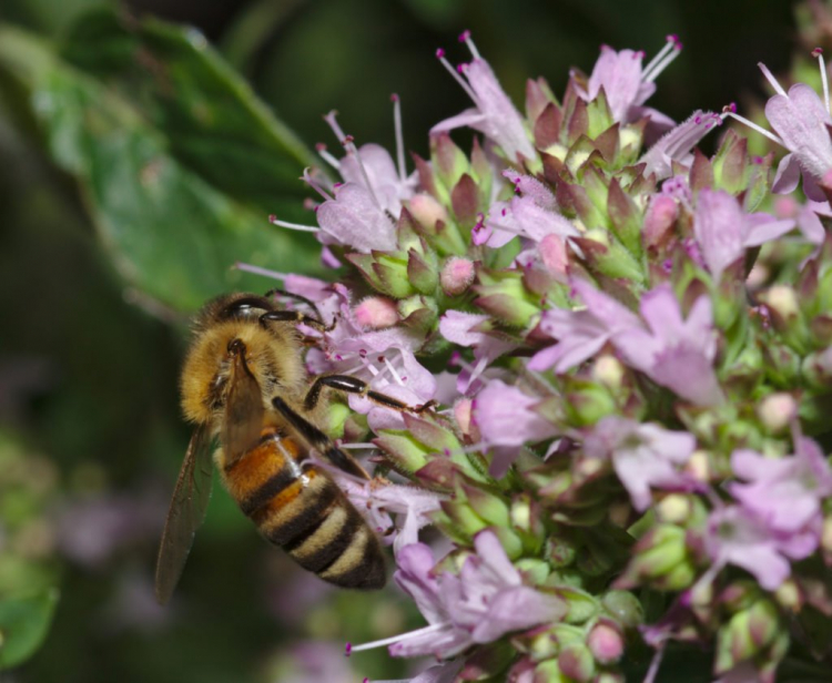 Bees like to visit the marjoram blossom