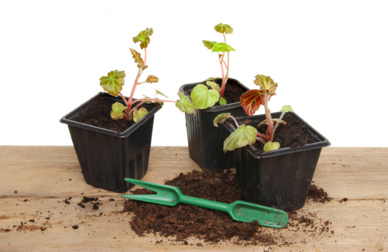 Begonias can be easily reproduced with the help of leaf or shoot cuttings