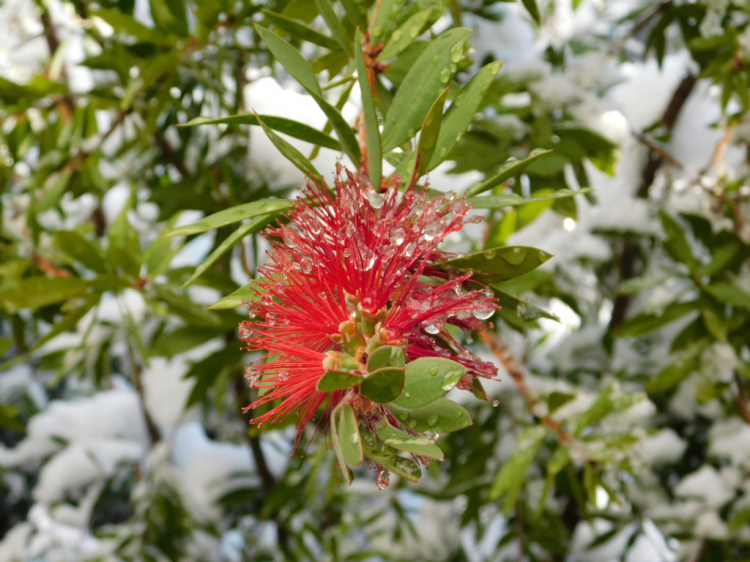 Bottlebrush plant do not tolerate cold and ice at all and have to be overwintered indoors