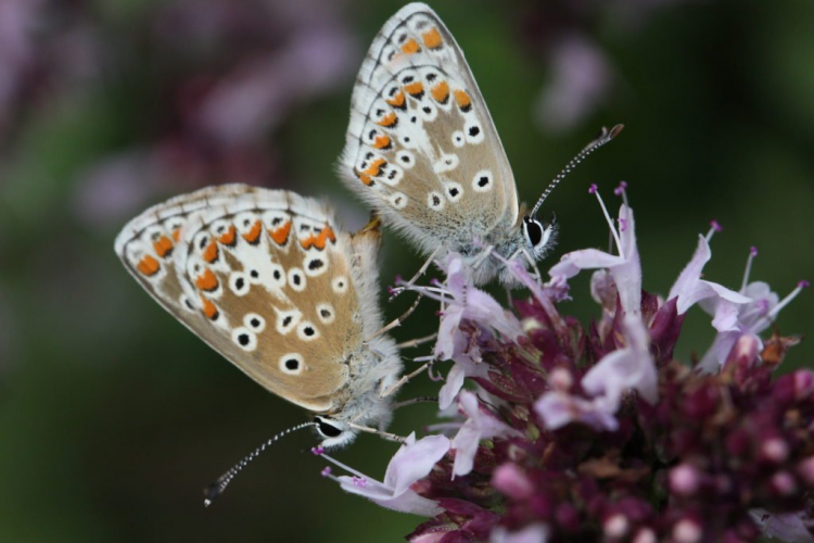 Butterflies and butterflies also like to visit the flowers of marjoram