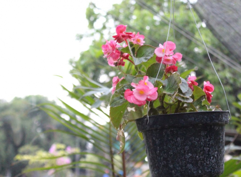 Camellias can be repotted in autumn
