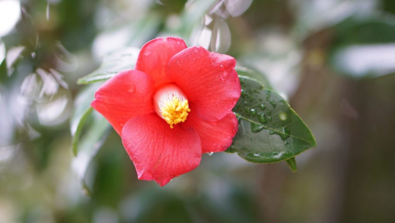 Camellias like it damp