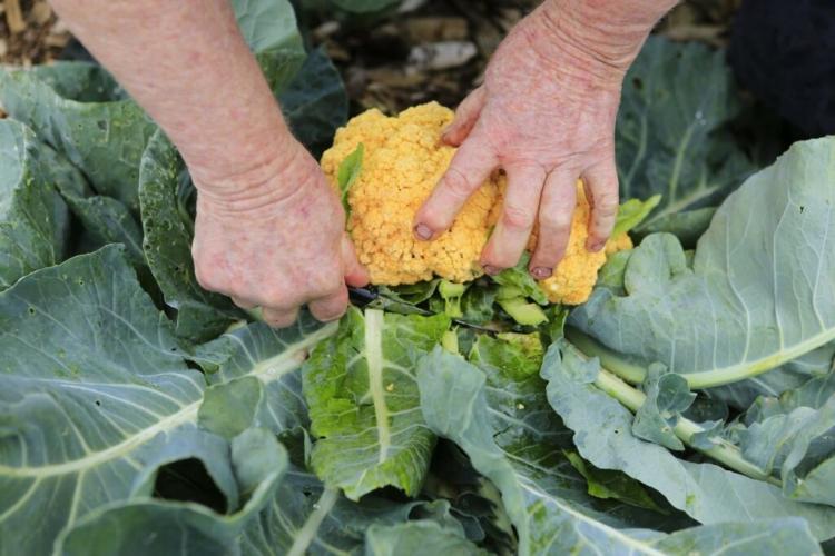 Cauliflower 'Cheddar F1' variety