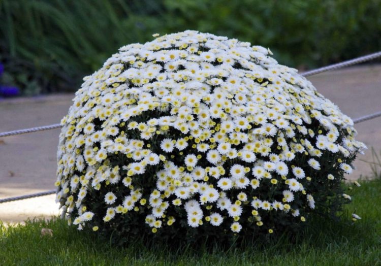 Choose a sunny and sheltered location for your chrysanthemum