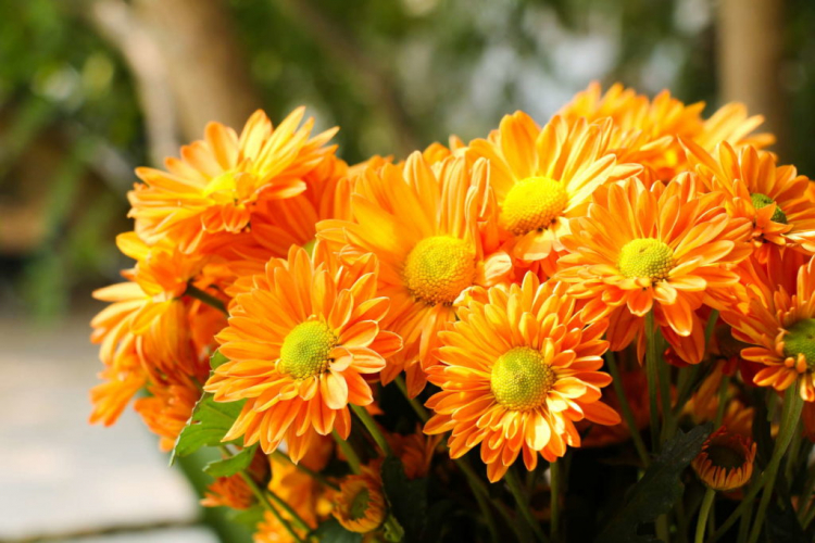 Chrysanthemums love sunny and sheltered locations