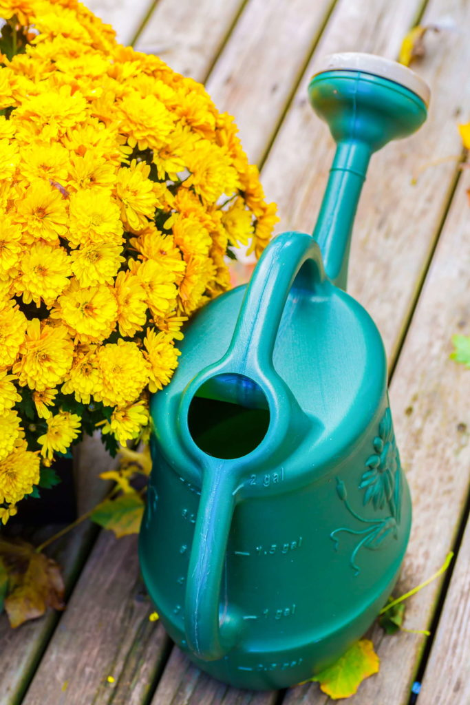 Chrysanthemums need a lot of liquid, especially during the flowering period