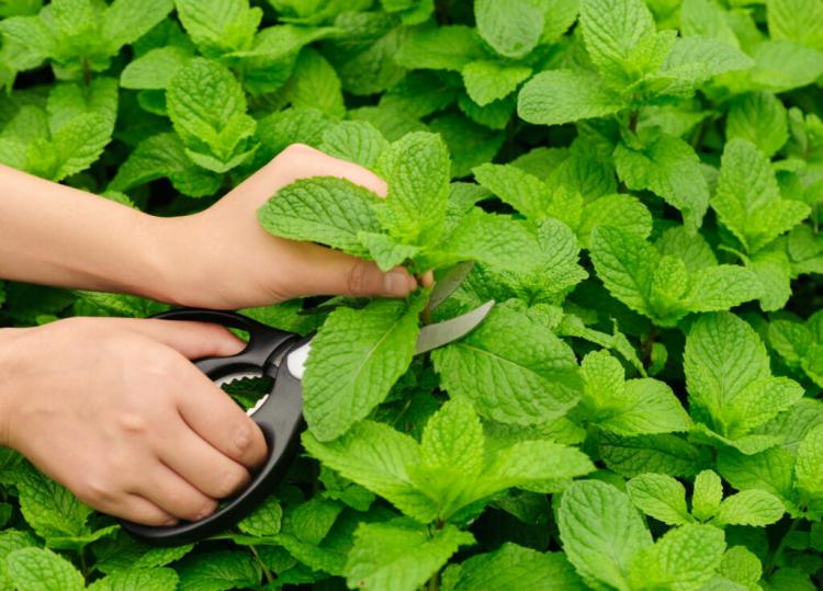 Cutting Mint
