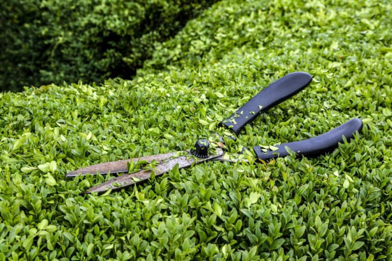 Cutting Privet Hedges