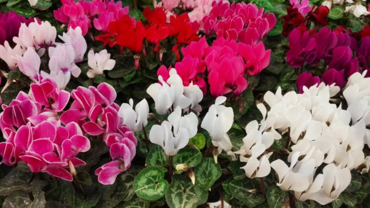 Cyclamen come in a multitude of shapes and colors