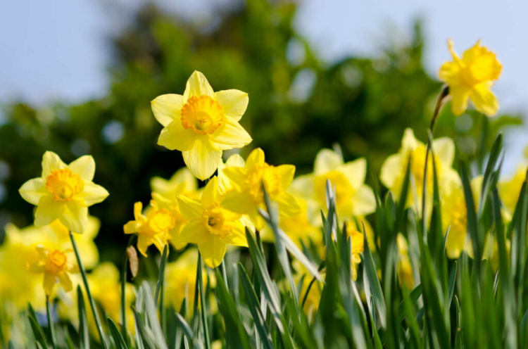 Daffodils: Toxic Or Not?
