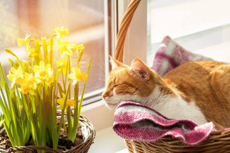 Daffodils are poisonous for your pets too!