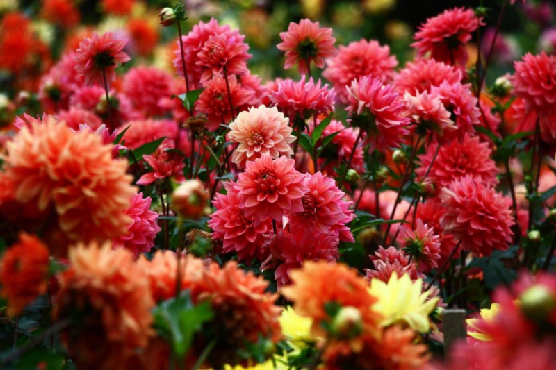 Dahlias belong to the so-called heavy eaters because they have a high need for nutrients