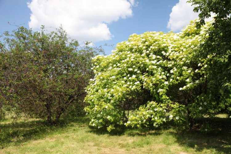 Depending on the variety, the elder can grow into a large shrub