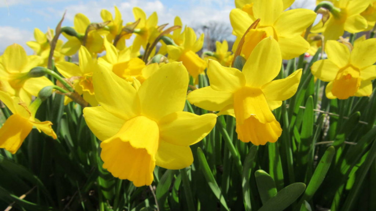Despite its friendly appearance, the daffodil also contains toxic substances
