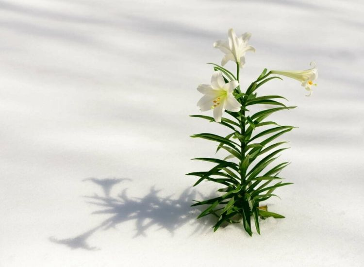 Easter lilies are particularly hardy