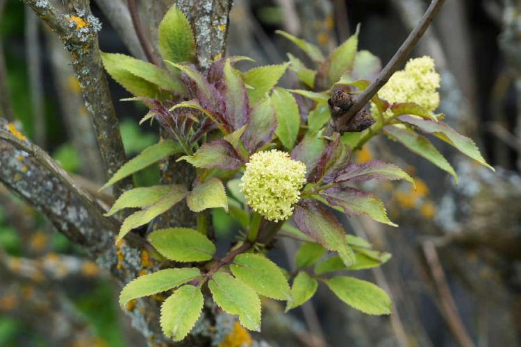 Elderberry can be propagated from cuttings or cuttings