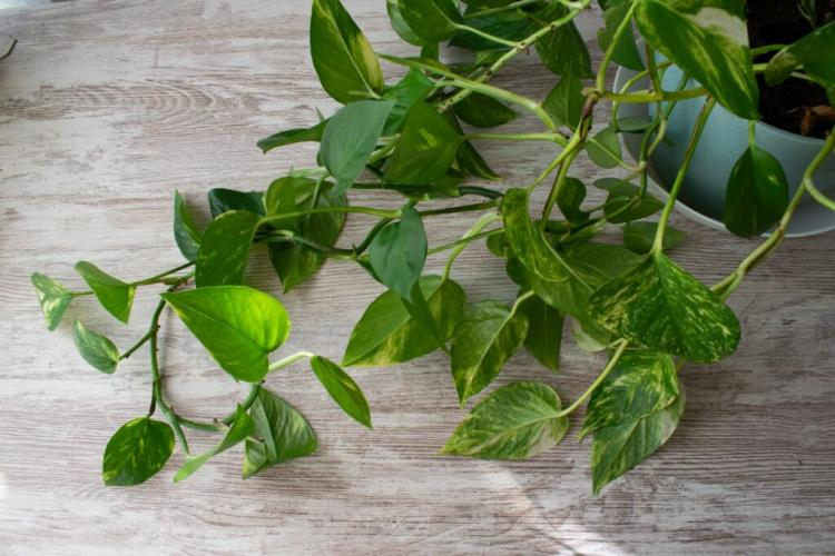 Epipremnum is one of the most popular houseplants