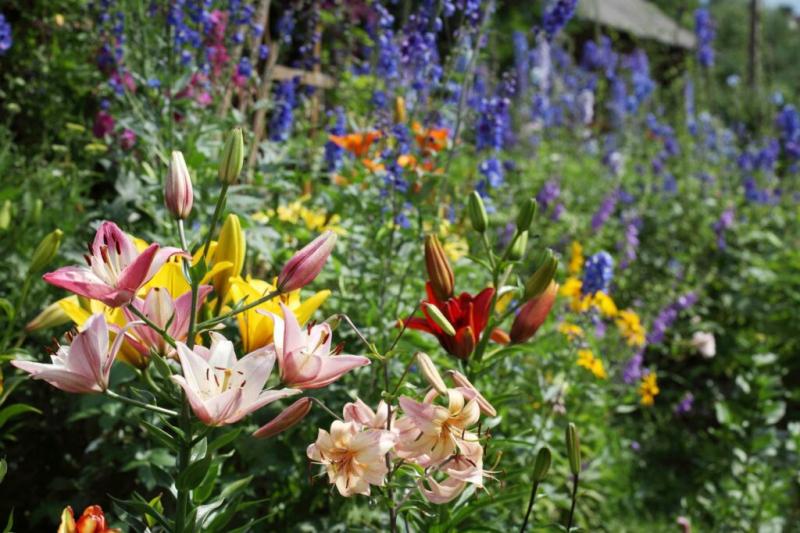 Fertilize Perennials