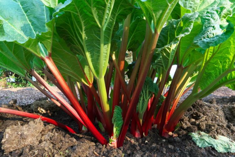 Fertilizing Rhubarb