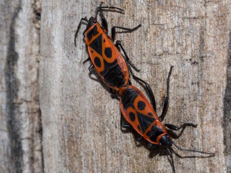Firebugs hibernate in the ground or under stones