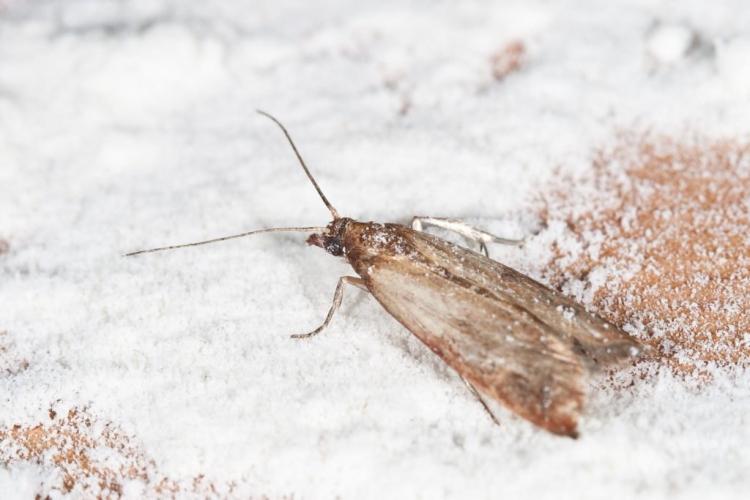 Flour Moths