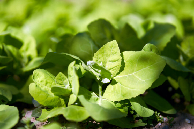 Garden orache has long been considered a weed
