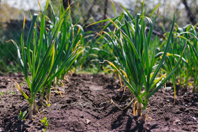 Garlic can be grown very well in beds