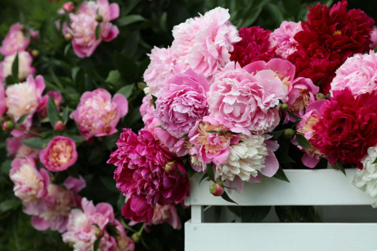 Half a day of sun exposure is ideal for the peony