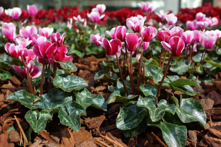 Hardy cyclamen prefer a shady to partially shaded place with humus-rich soil