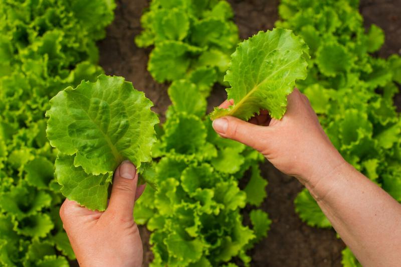 Harvesting Lettuce Leaves