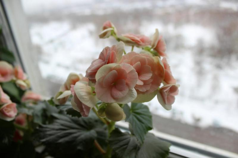 Hibernating begonias