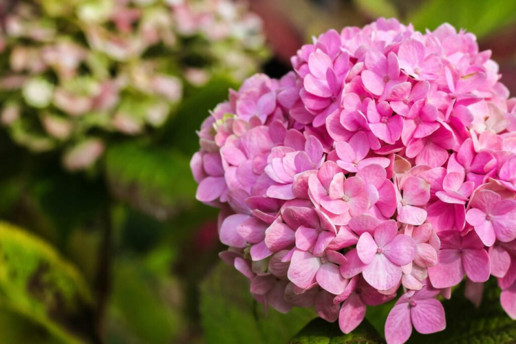 Hydrangeas of the species H. macrophylla with pink flowers are best-colored blue