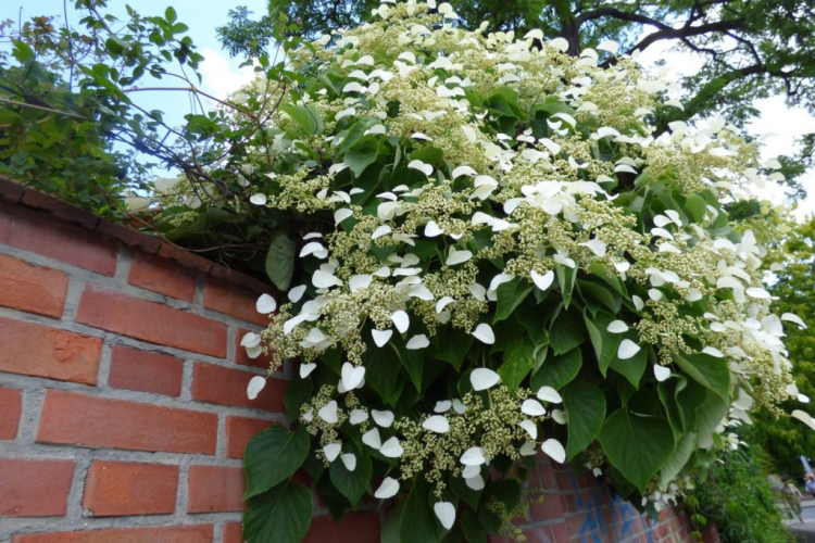 If the climbing hydrangea has grown lush and loses its shape, it can be cut back