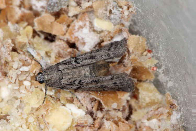 If you discover flour moths in your kitchen, you should immediately dispose of the affected food