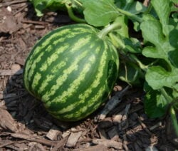 If you want to grow melons in your own garden, the variety is crucial