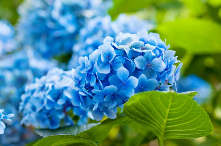 In order for your hydrangeas to turn beautifully blue, two conditions must be met
